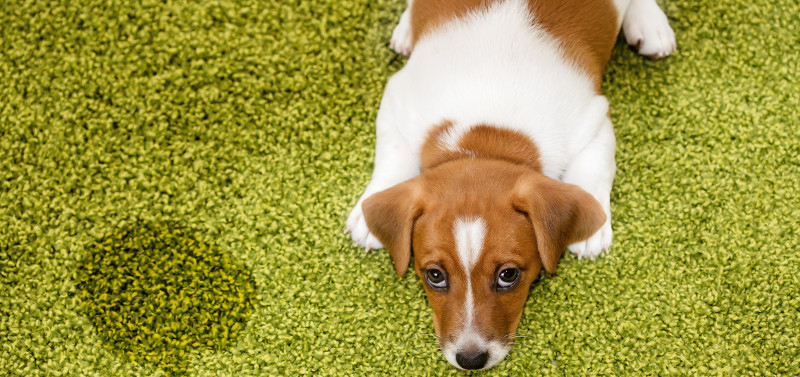 Carpet Cleaning & Owning Pets: Dos and Don'ts